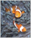 Clownfish - Click to ENLARGE